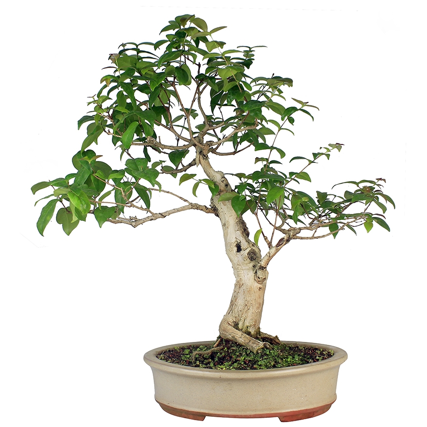 Bonsai Pitanga 23 anos - Ideal Bonsai